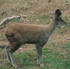 उत्तराखंड का राज्य पशु कस्तूरी मृग