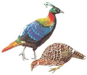 उत्तराखंड का राज्य पक्षी मोनाल