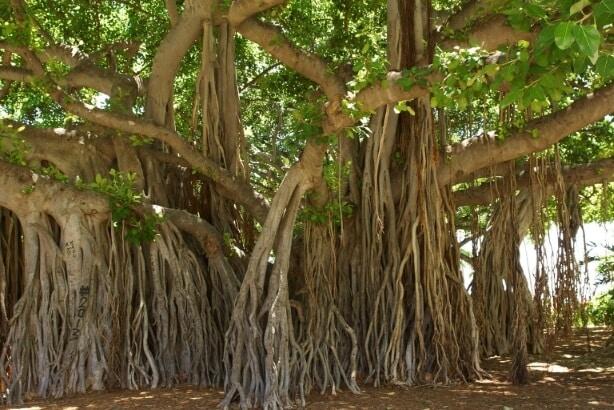 Banyan or Ficus Bengalensis