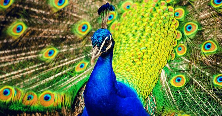 National bird of India - Peacock