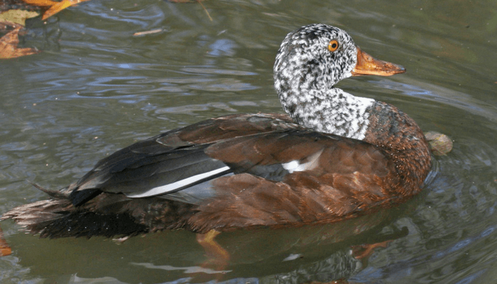 White-winged wood duck